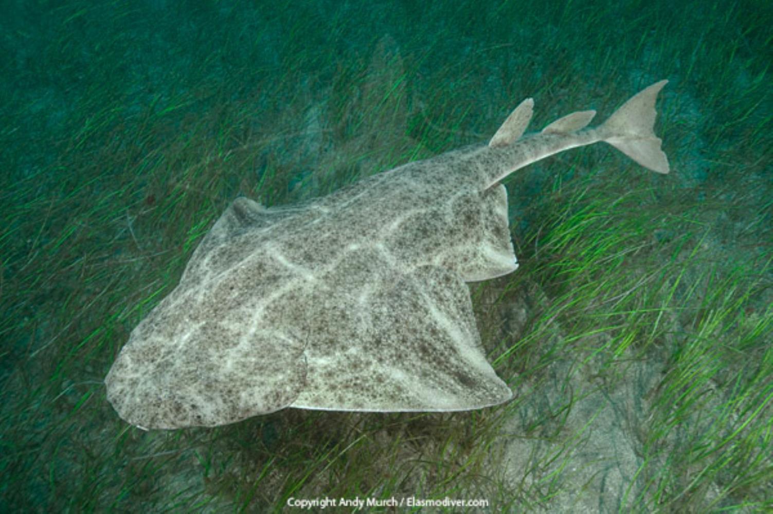 Common Angel Shark