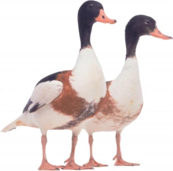 Common Shelduck