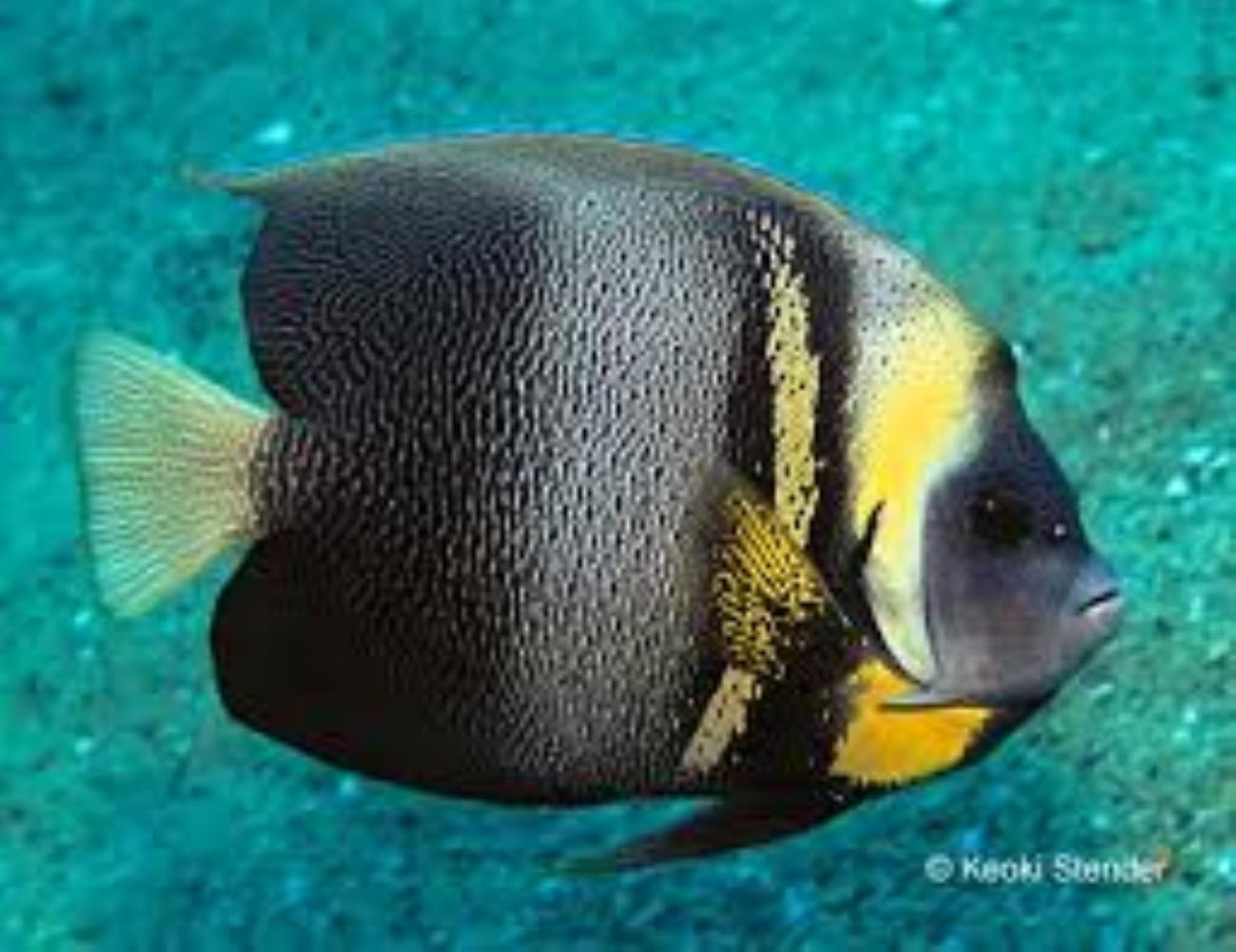 Cortez angelfish