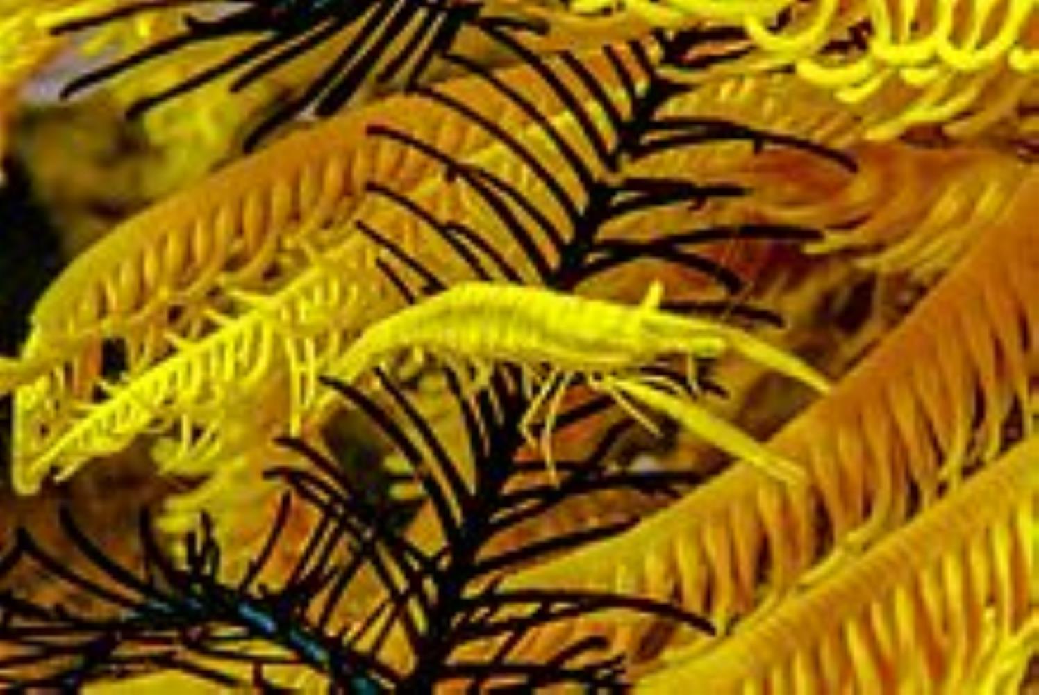Crinoid/Feather Star Shrimp