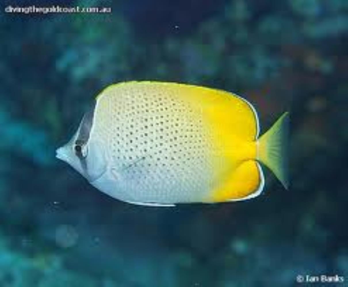 Crochet Butterflyfish
