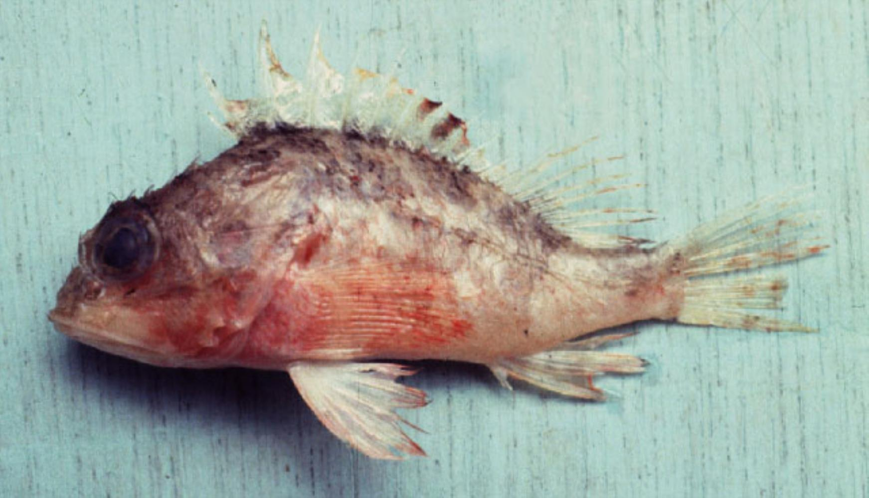 Curvedspine Scorpionfish