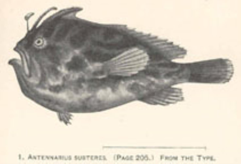 Deepwater Frogfish
