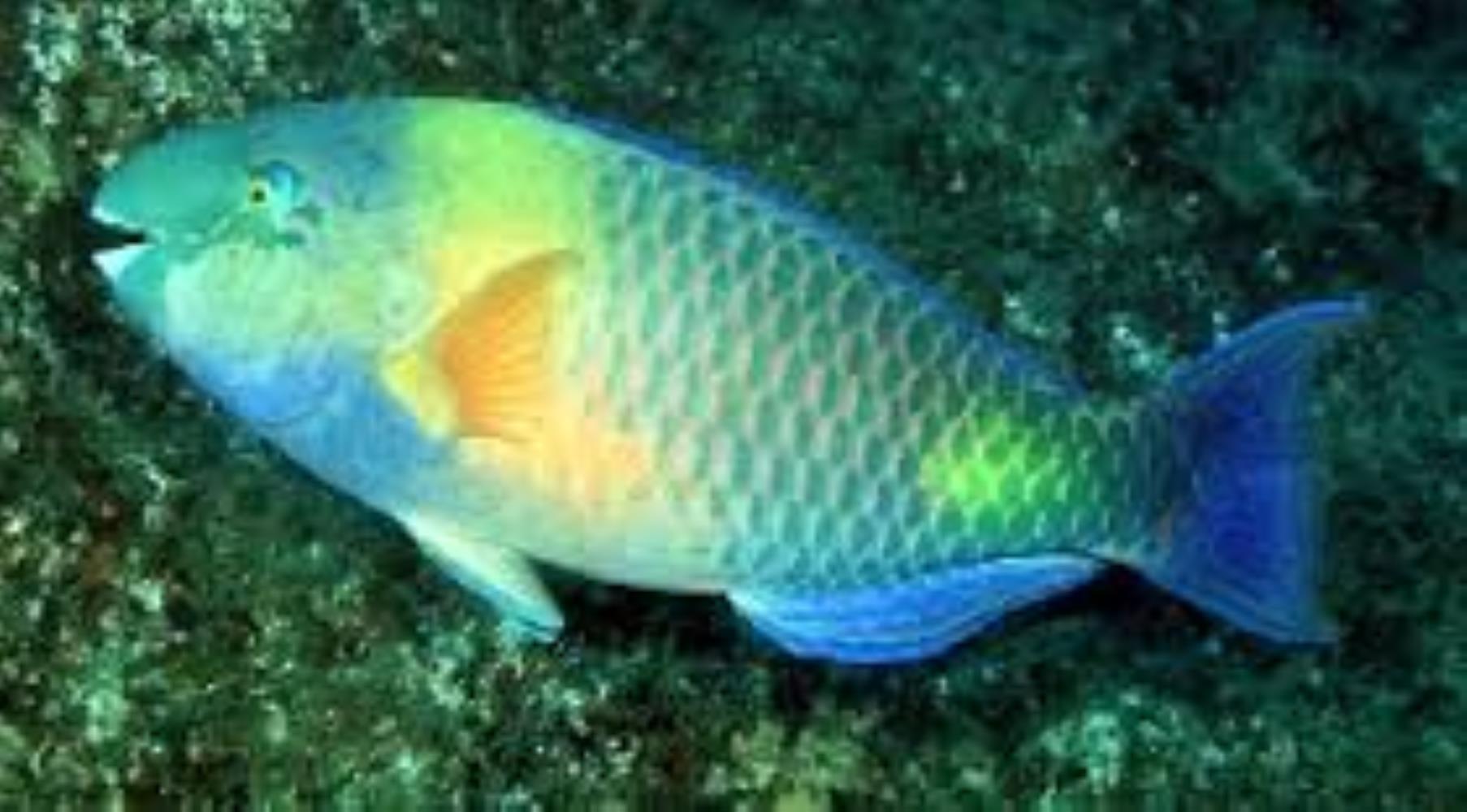 Dhofar Parrotfish