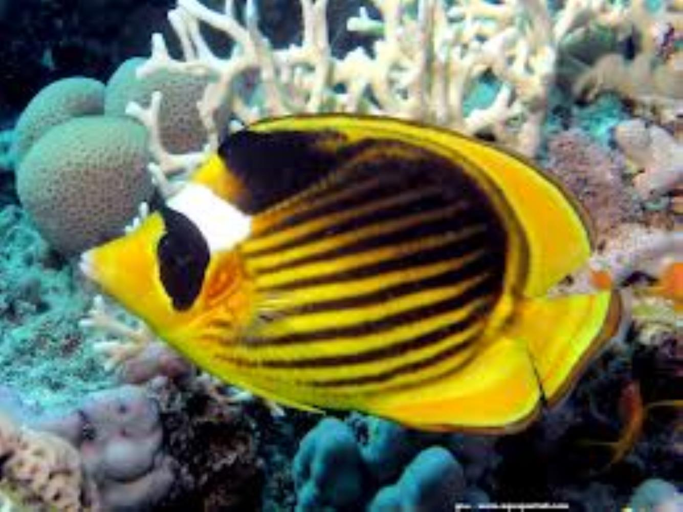 Diagonal Butterflyfish