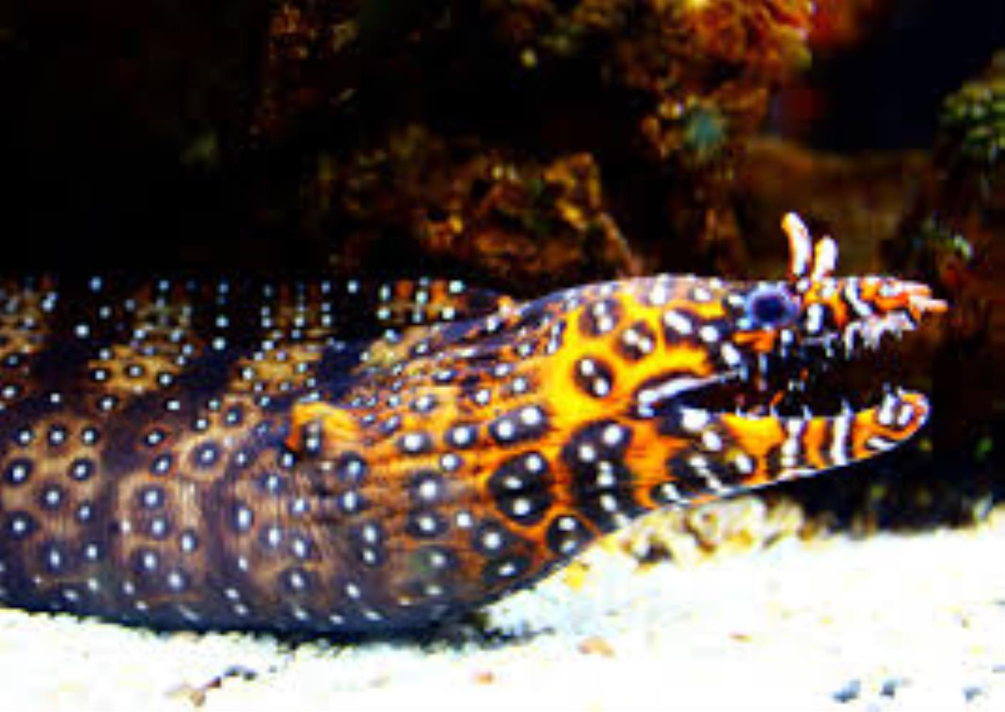 Dragon moray