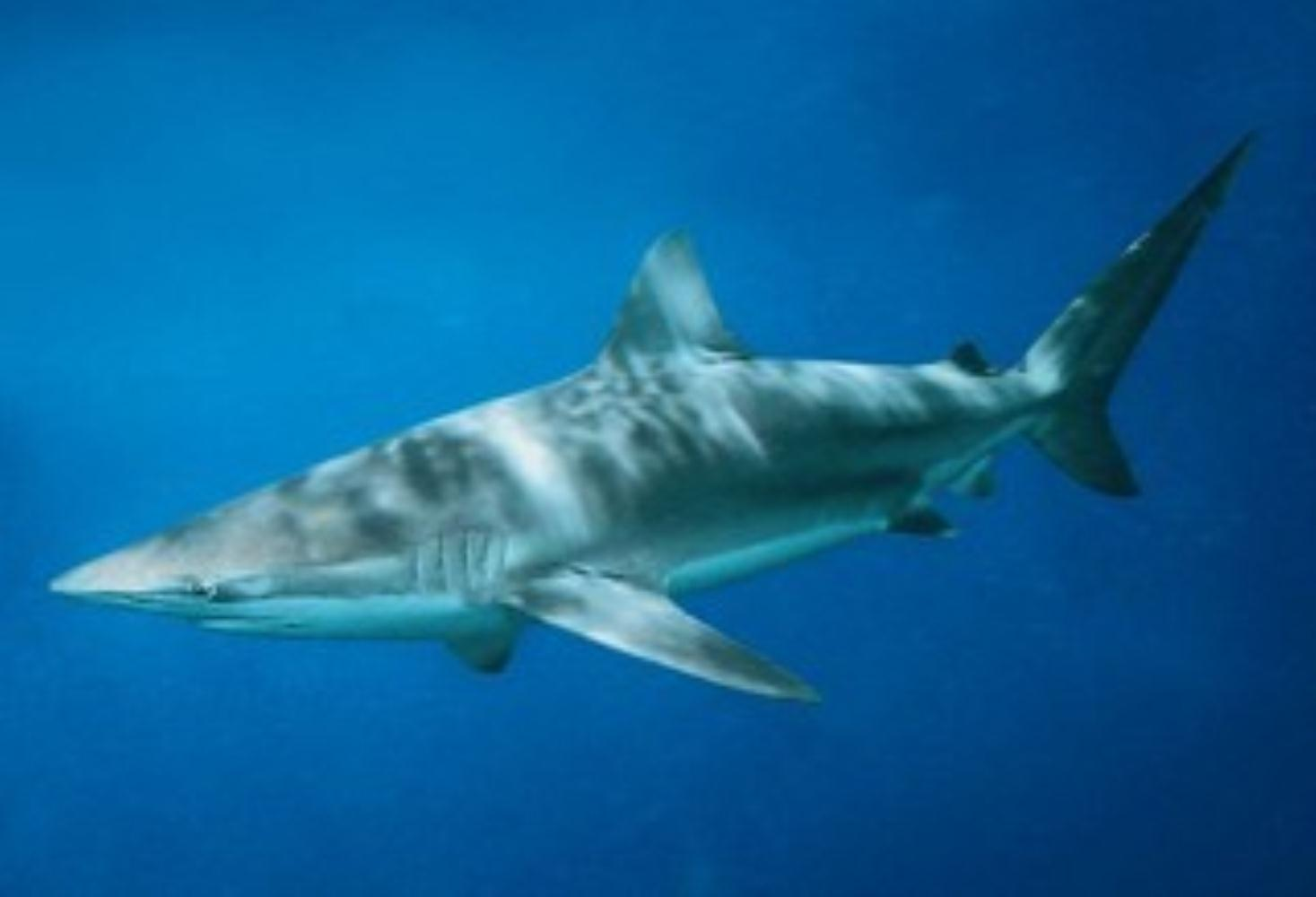 Dusky shark
