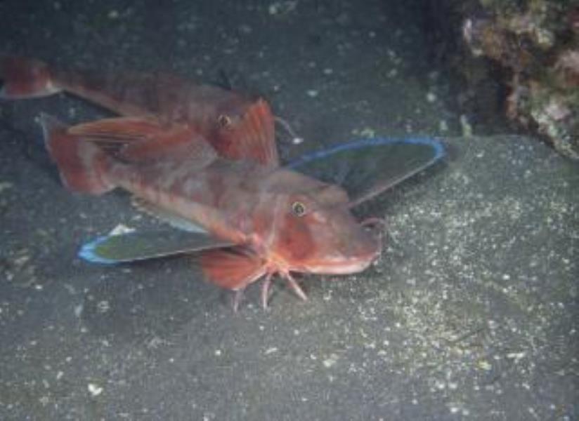 East Atlantic Red Gurnard