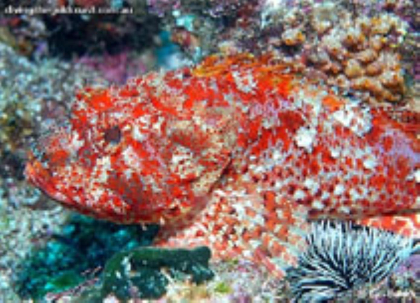 Eastern Red Scorpionfish