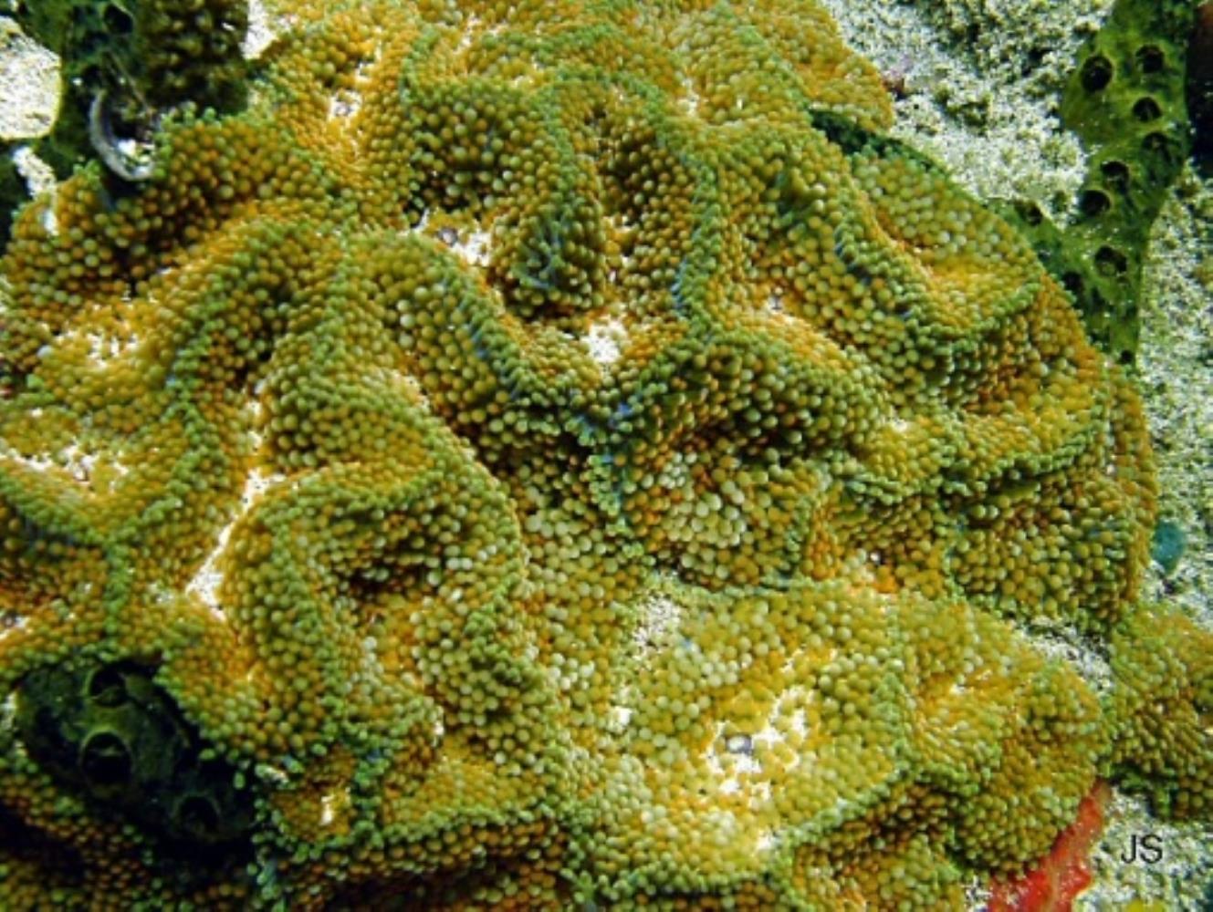 False Coral