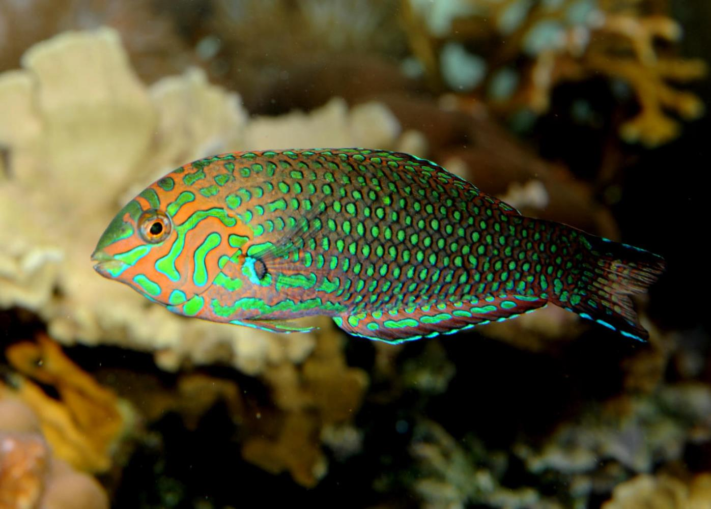 False Leopard Wrasse