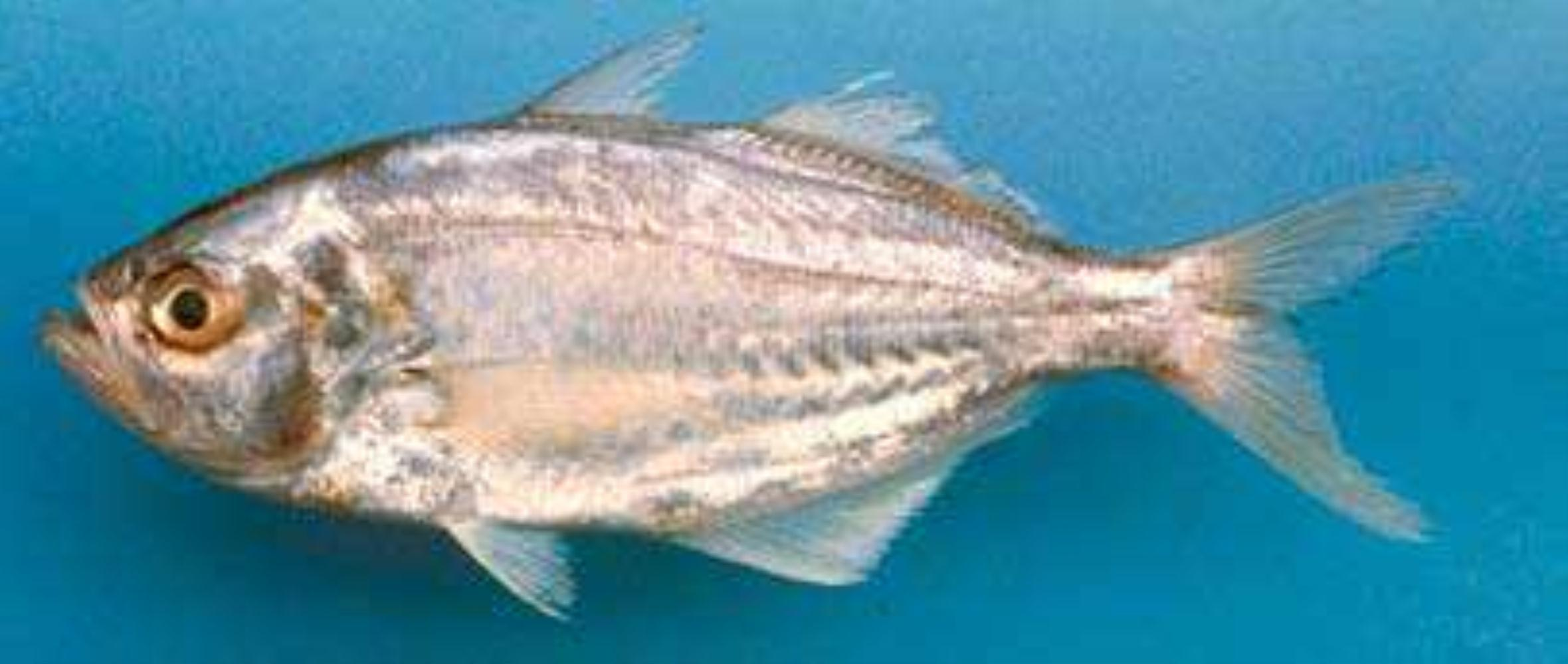 False trevally