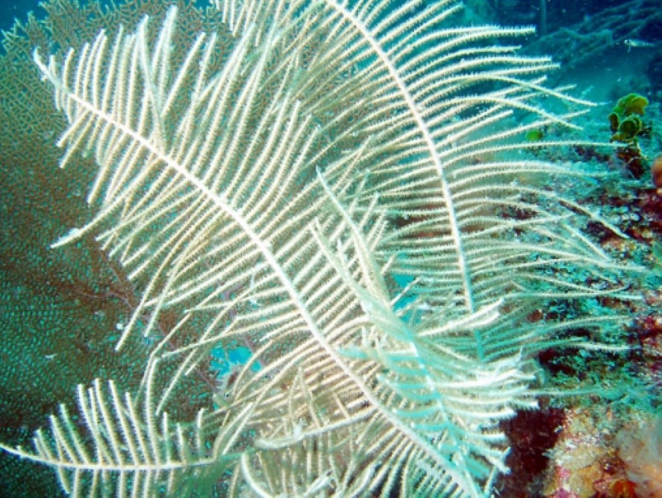 Forked Sea Feather