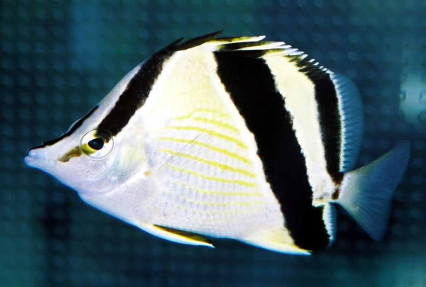 French Butterflyfish