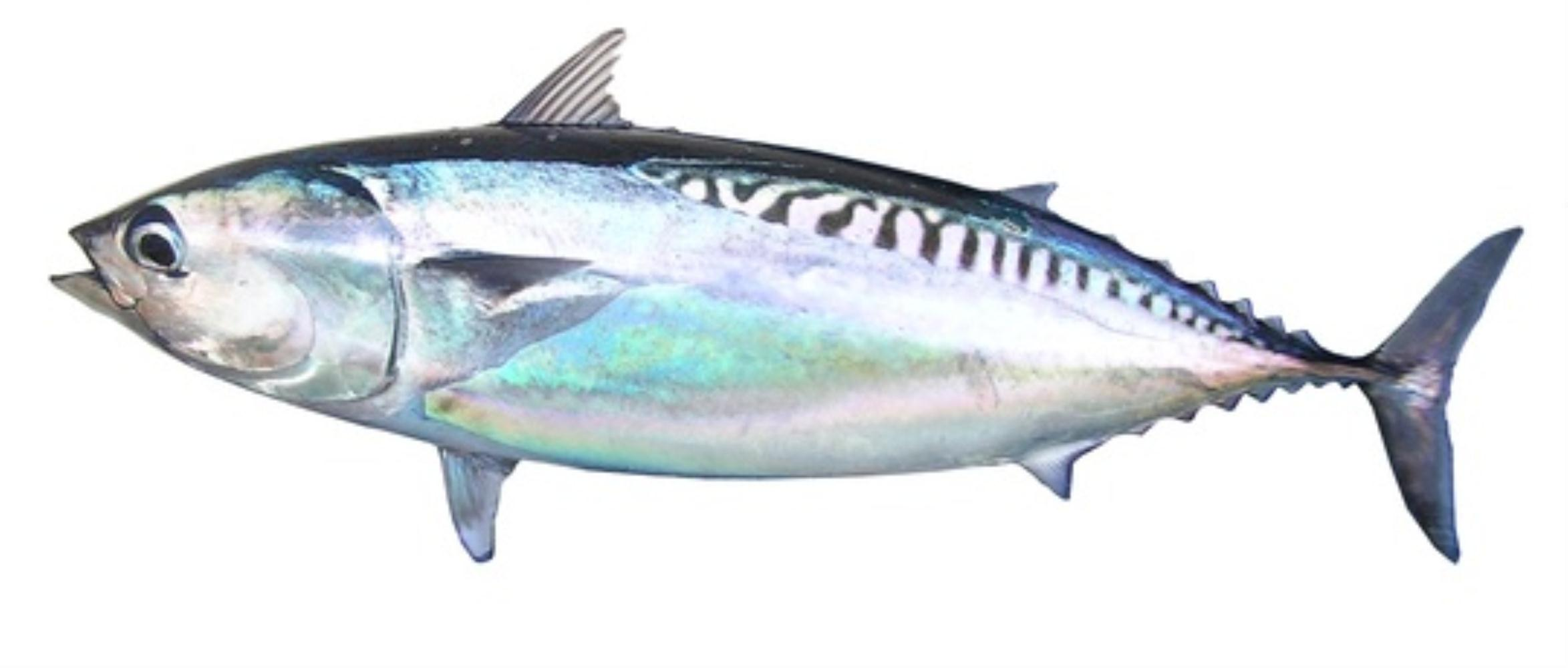 Frigate Mackerel