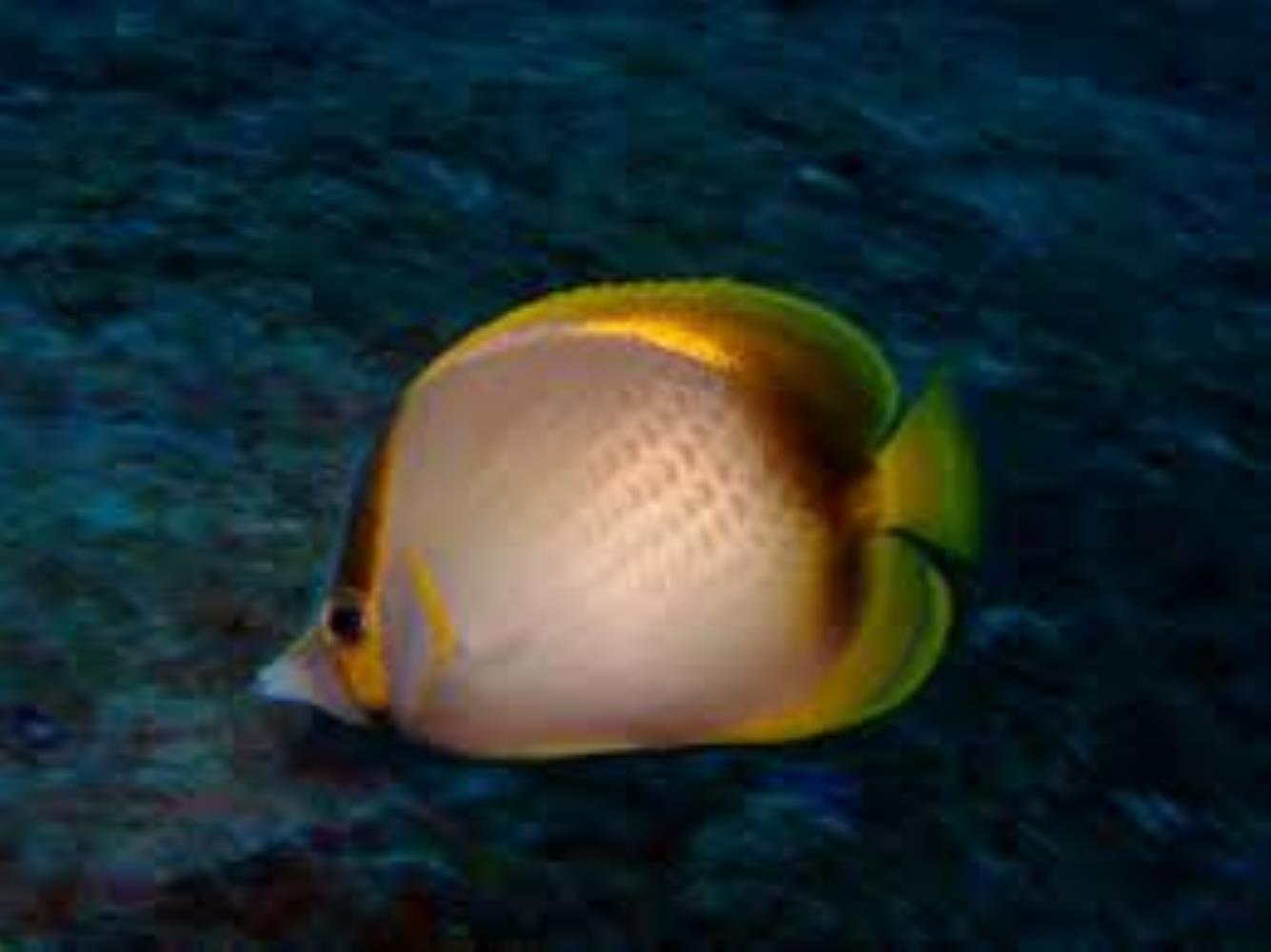 Gardner's Butterflyfish
