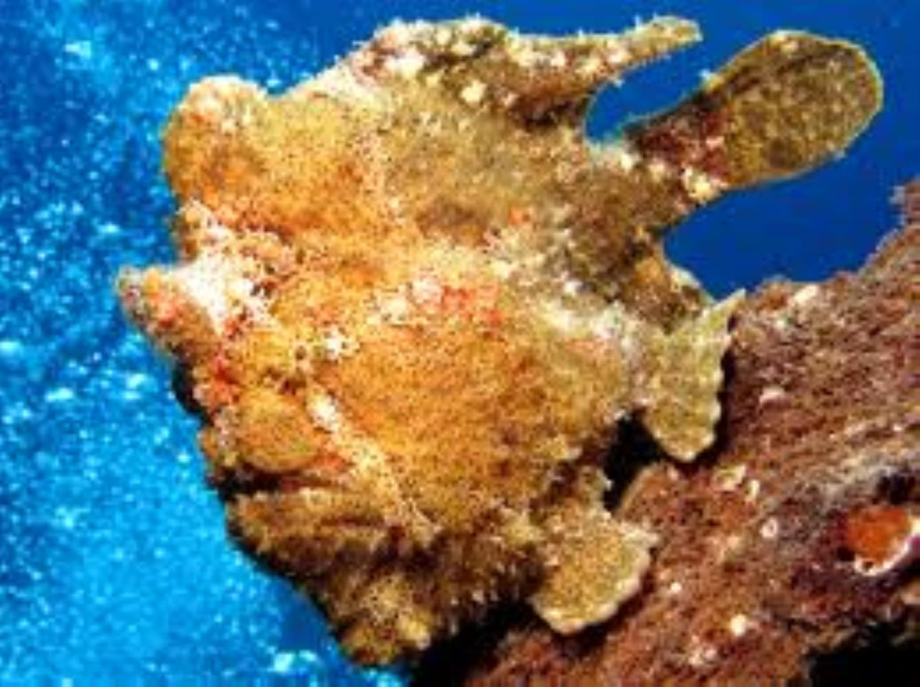 Giant/Commerson's Frogfish