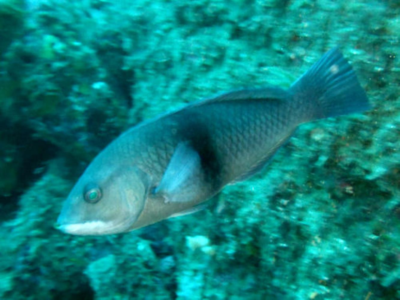 Girdled Wrasse