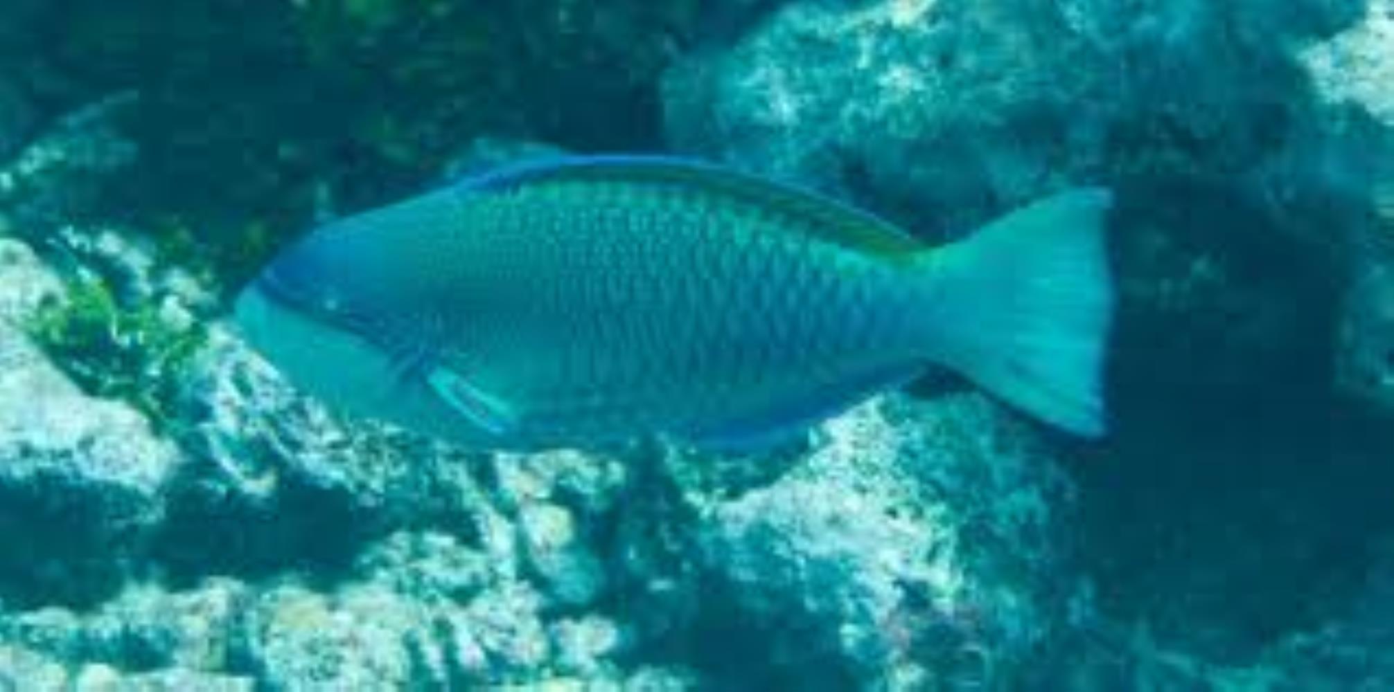 Globehead Parrotfish