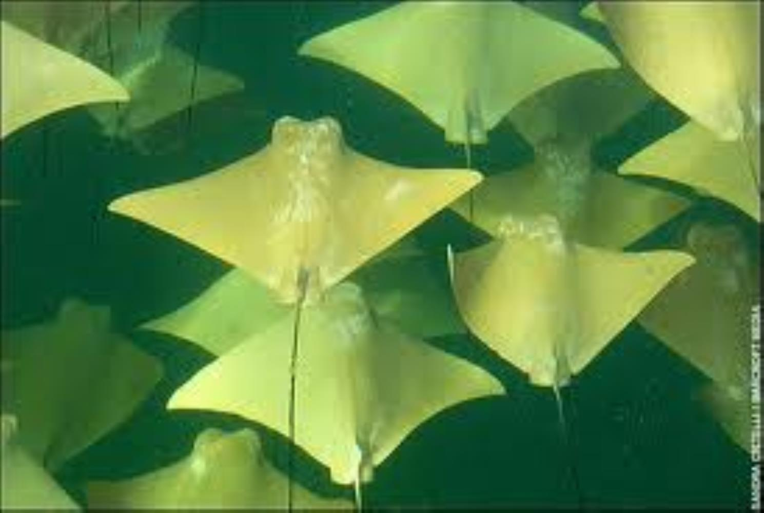Golden Cownose Ray