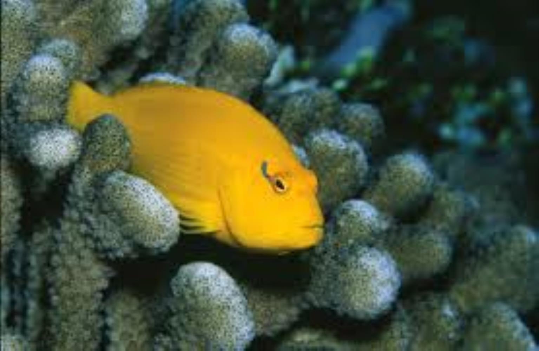 Golden hawkfish