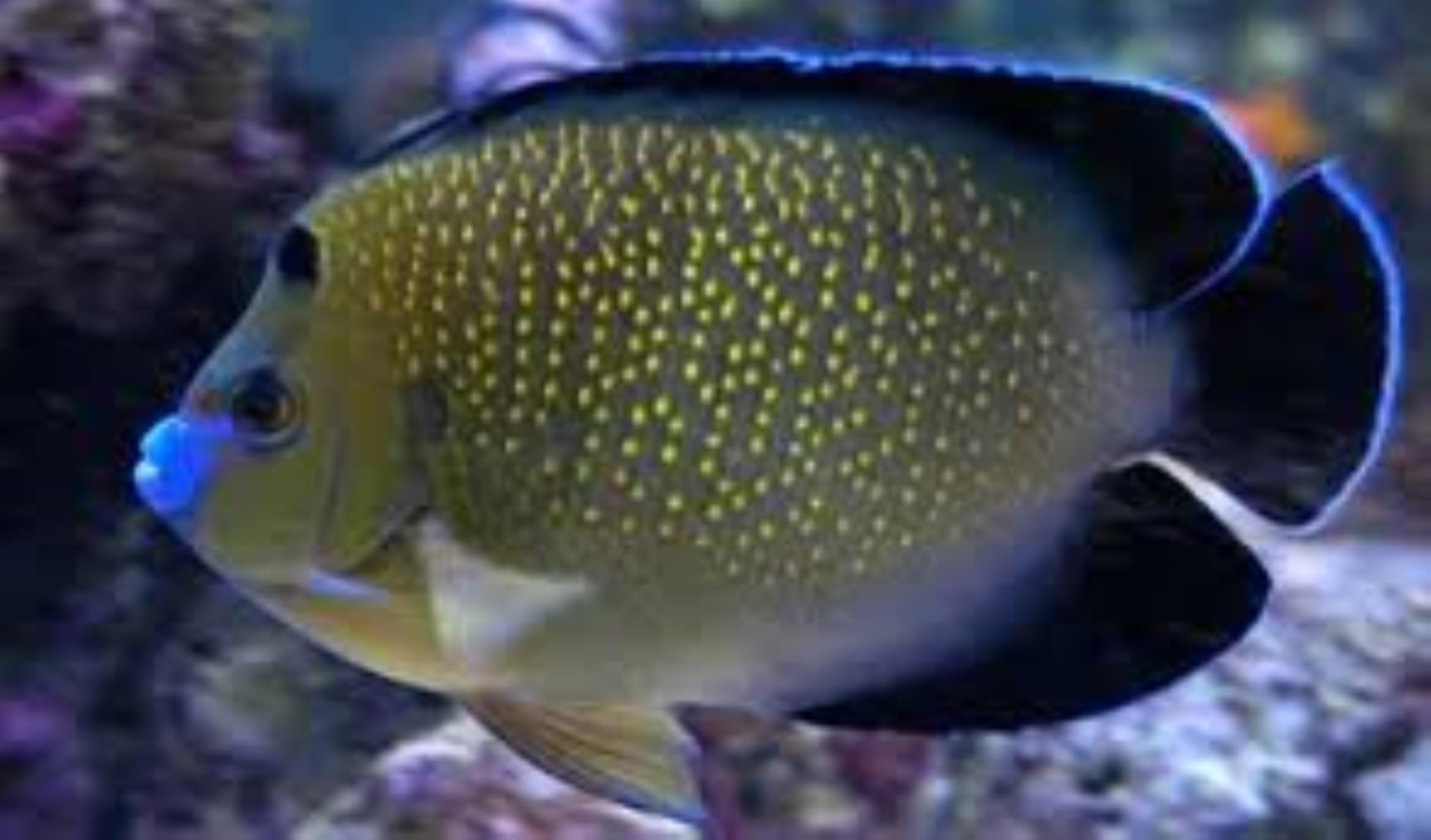 Goldspotted Angelfish