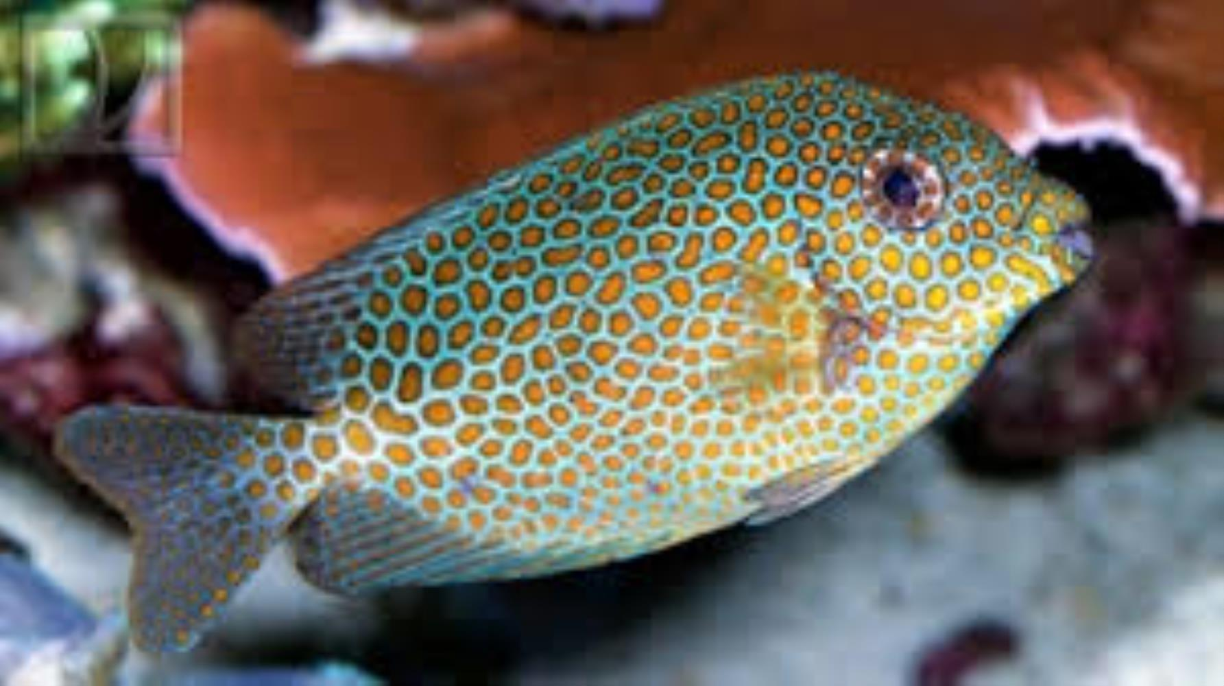 Goldspotted Spinefoot Rabbitfish