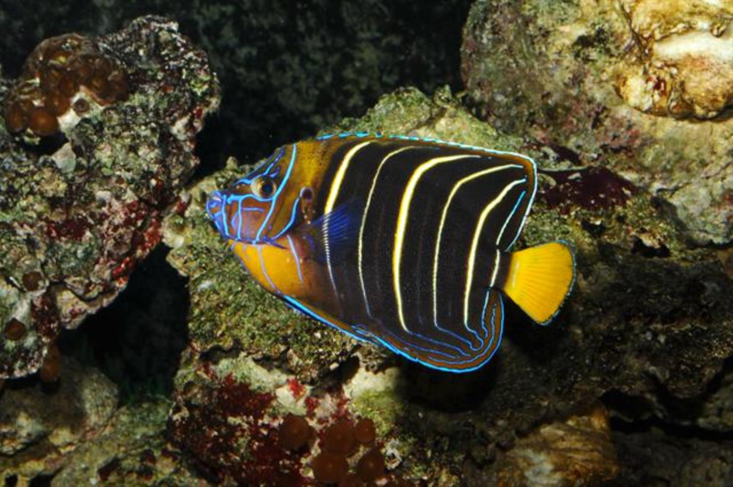 Goldtail Angelfish