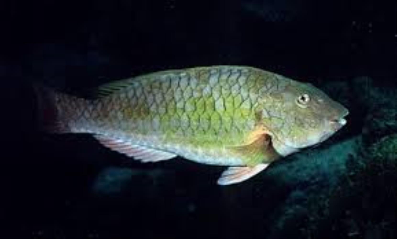 Gray Parrotfish