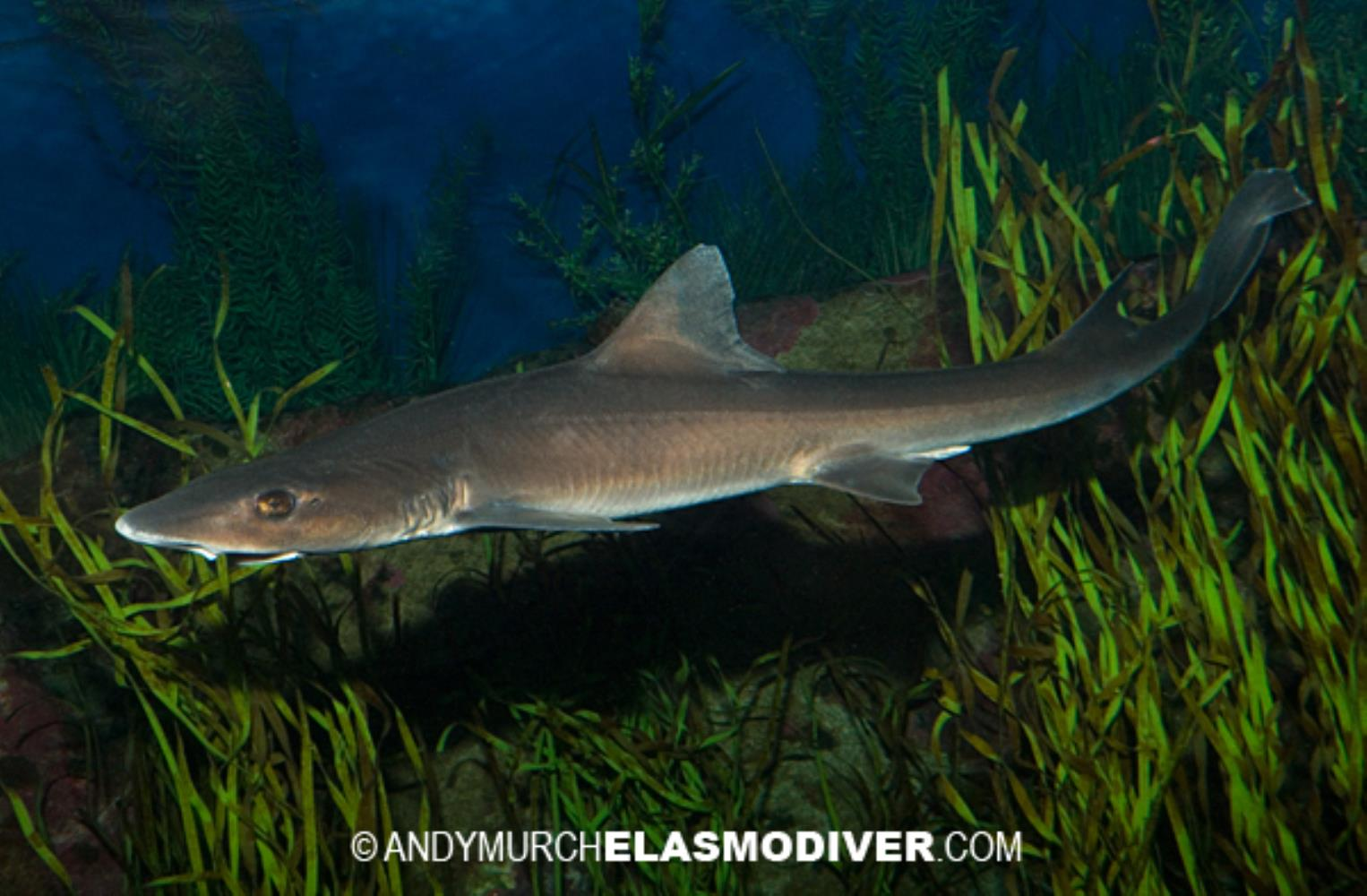 Grey Smoothhound