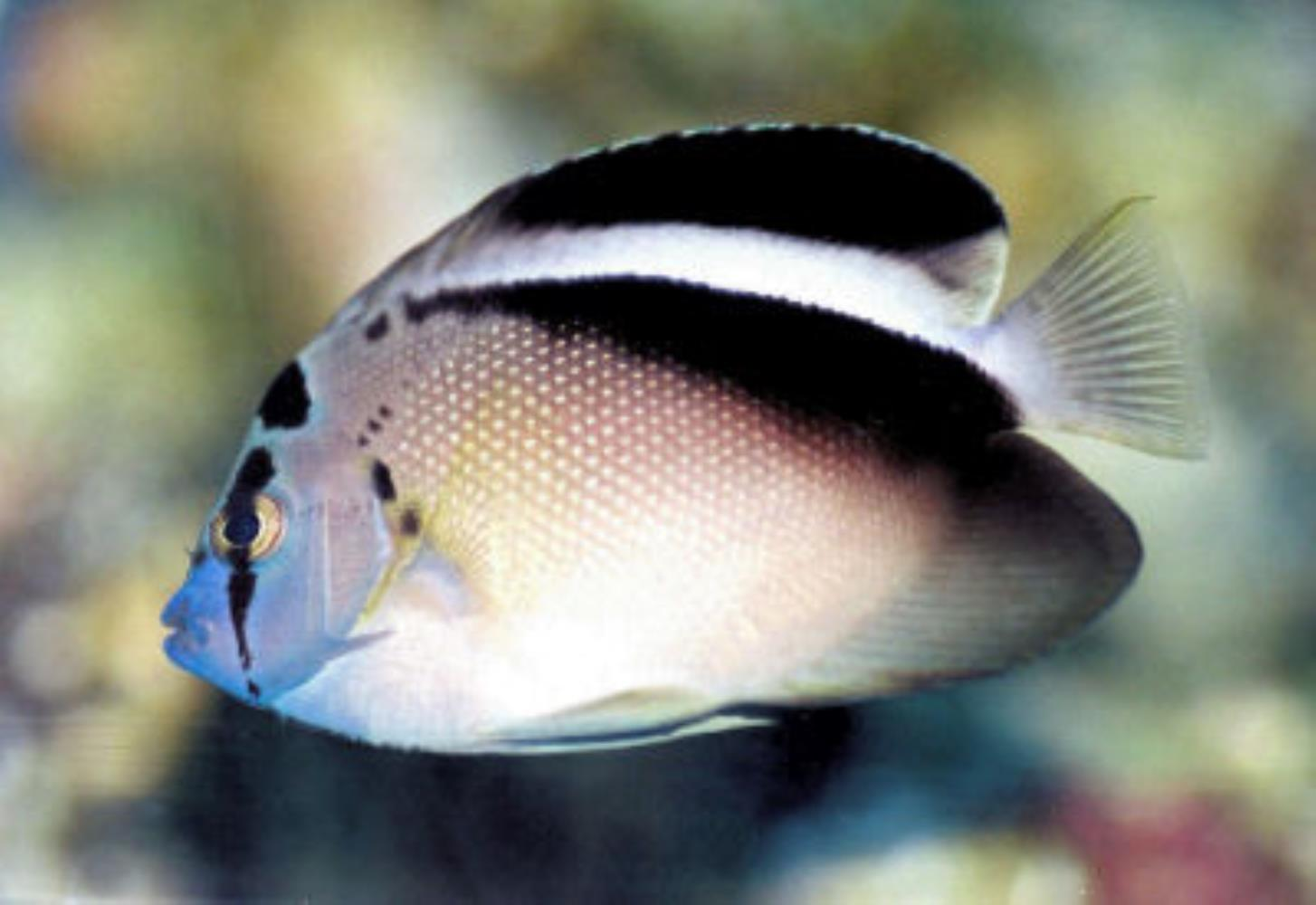 Griffis Angelfish