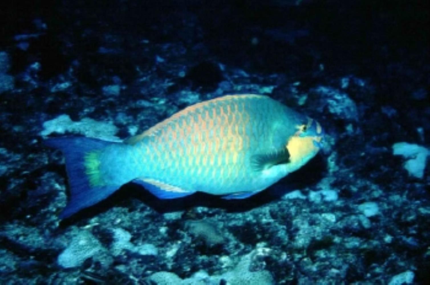 Guinean Parrotfish