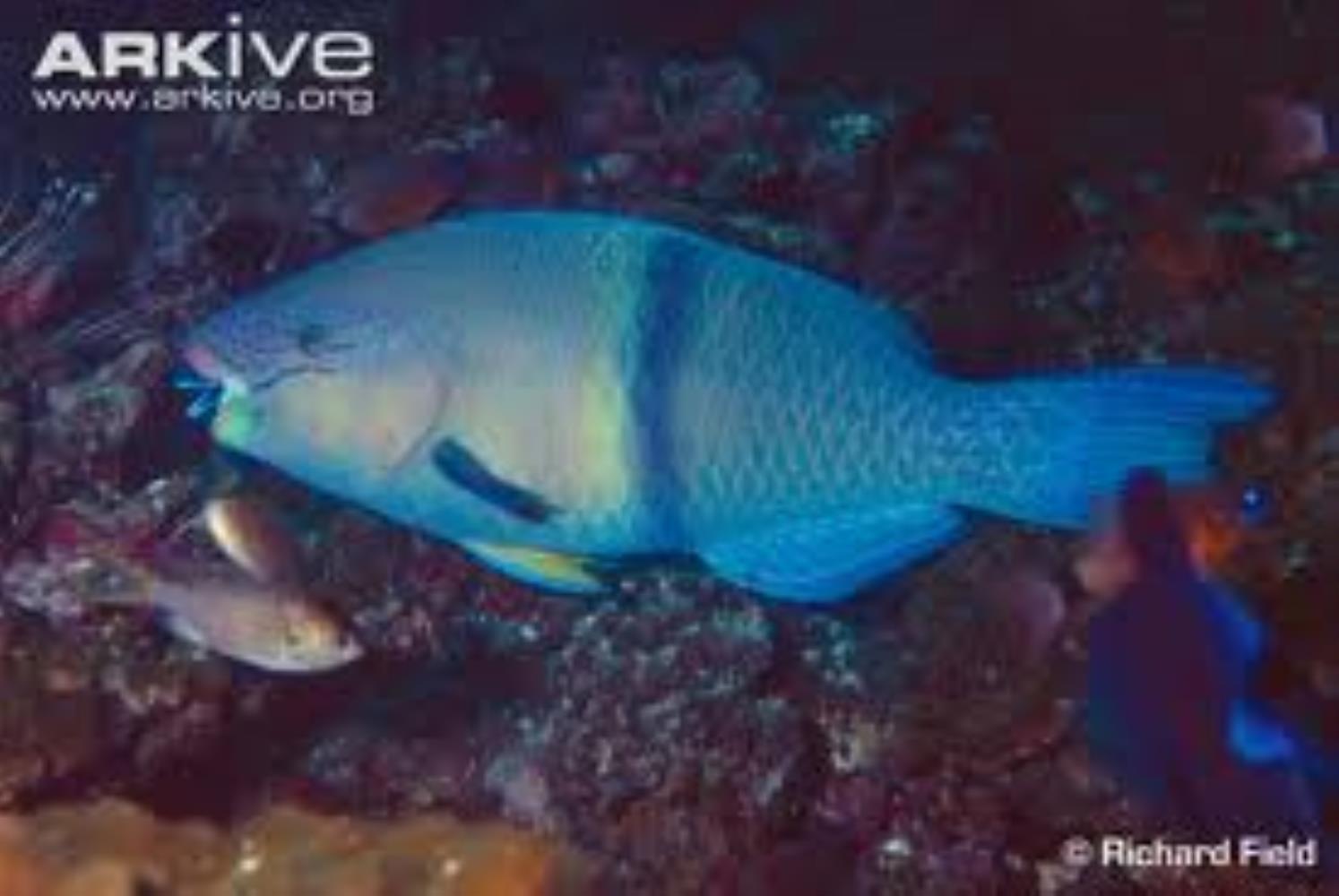Gulf Parrotfish