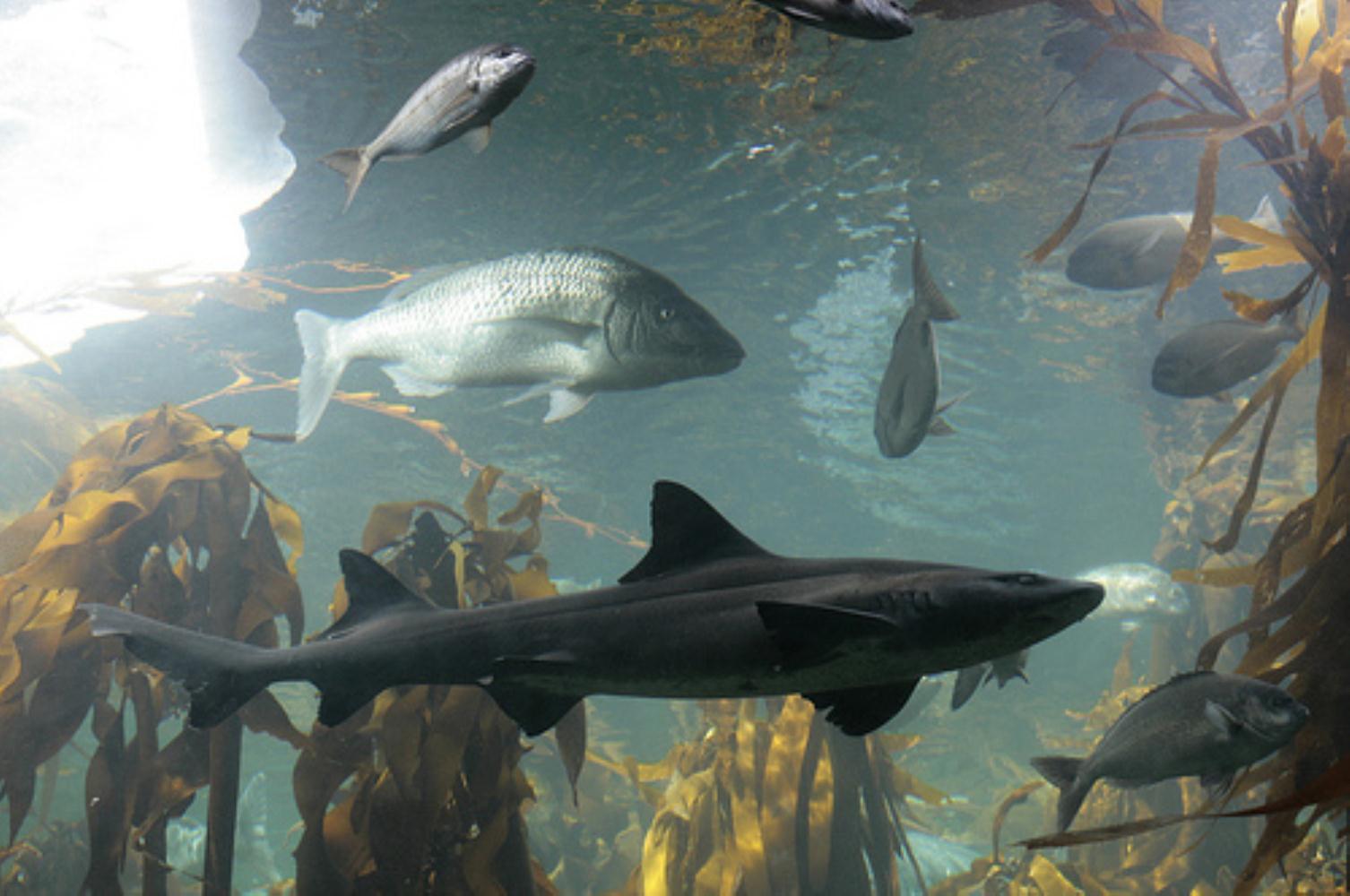 Hardnosed smooth-hound shark