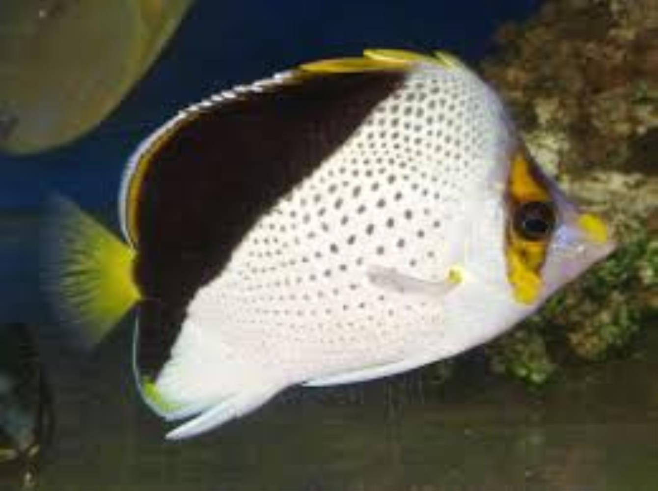 Hawaiian Butterflyfish