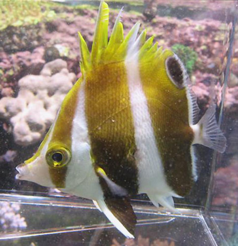 Hawaiian Gold-barred Butterflyfish