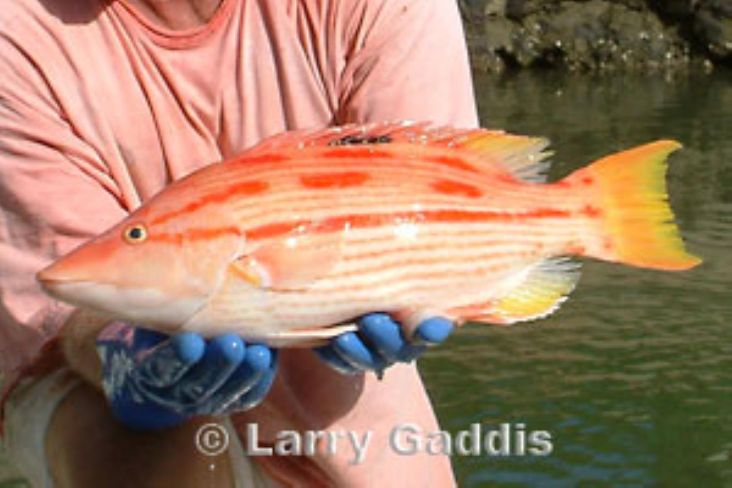Hawaiian Pigfish