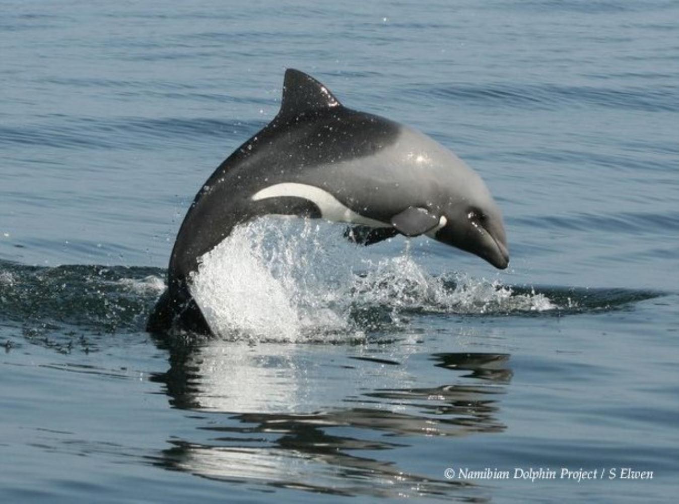 Heaviside's Dolphin