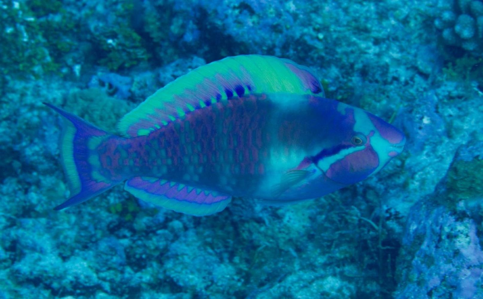 Highfin Parrotfish