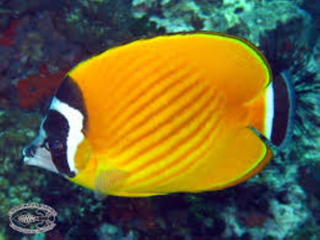 Hongkong Butterflyfish