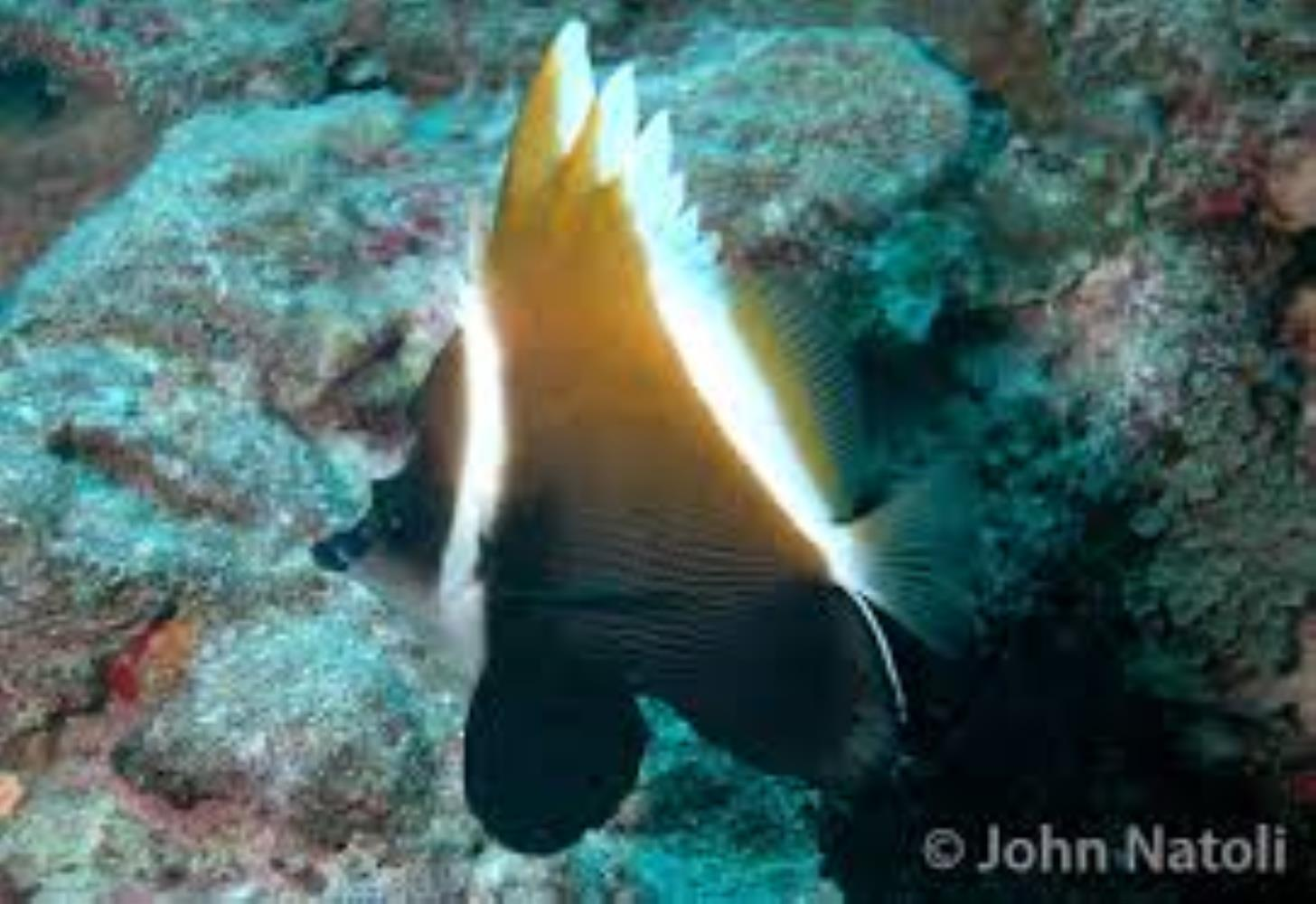 Horned/ Humphead Bannerfish
