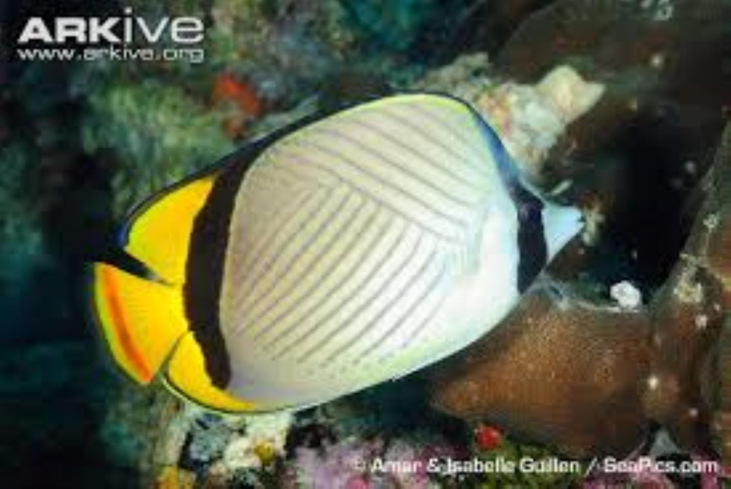 Horseshoe Butterflyfish