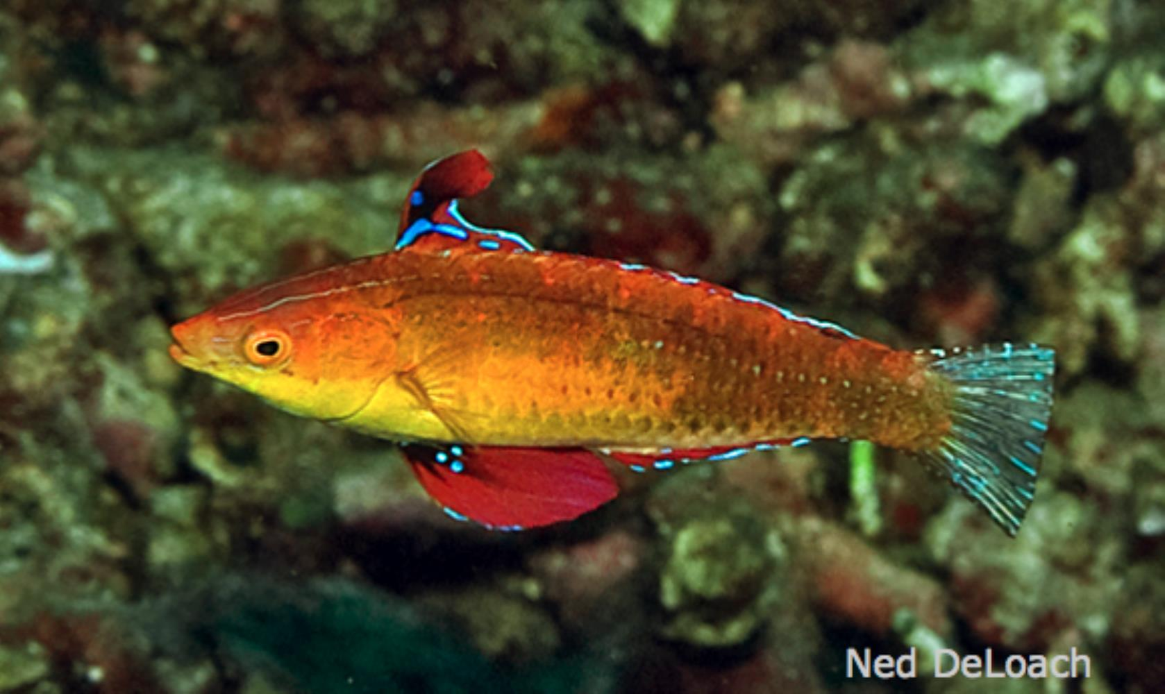 Human's Fairy Wrasse
