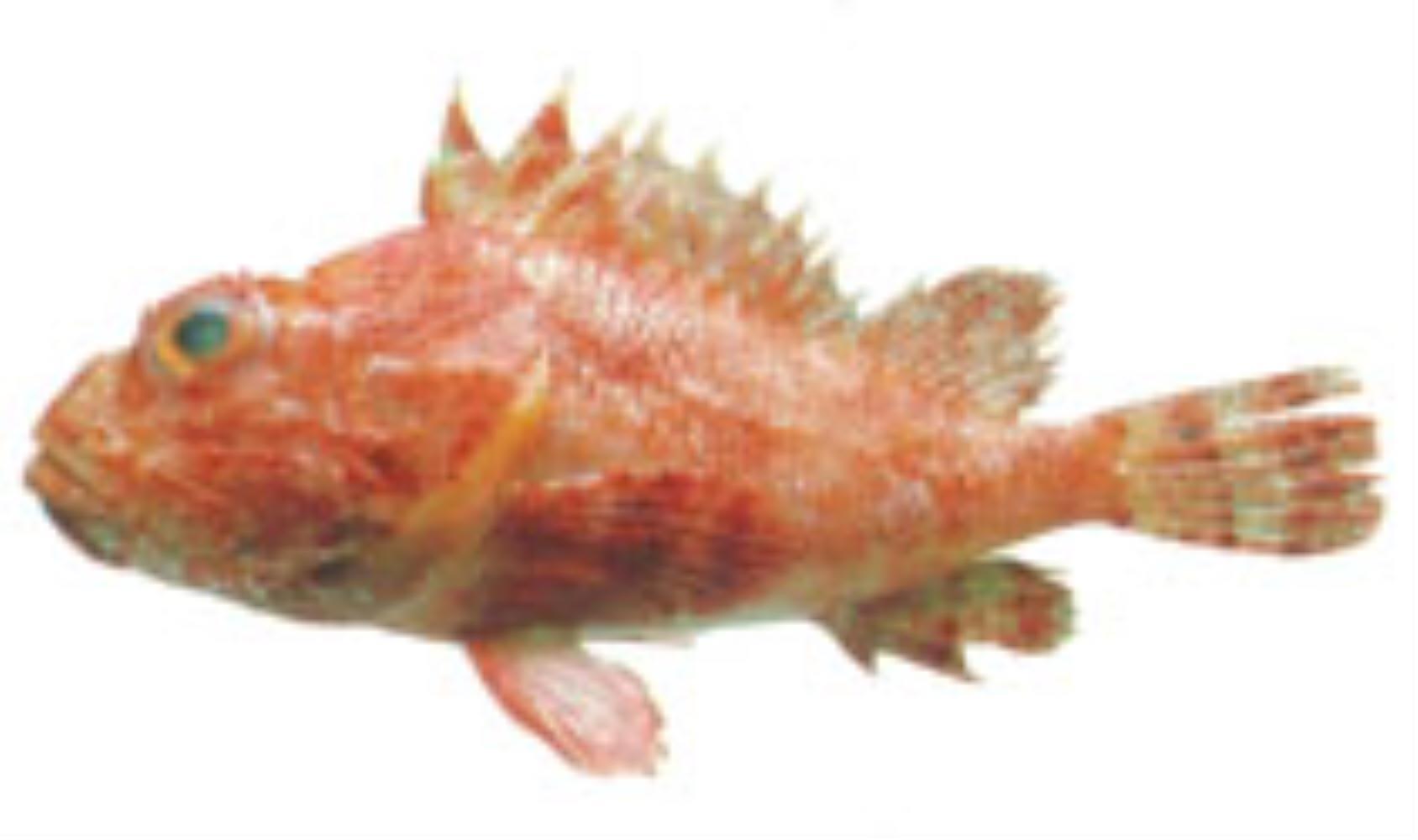 Hunchback scorpionfish
