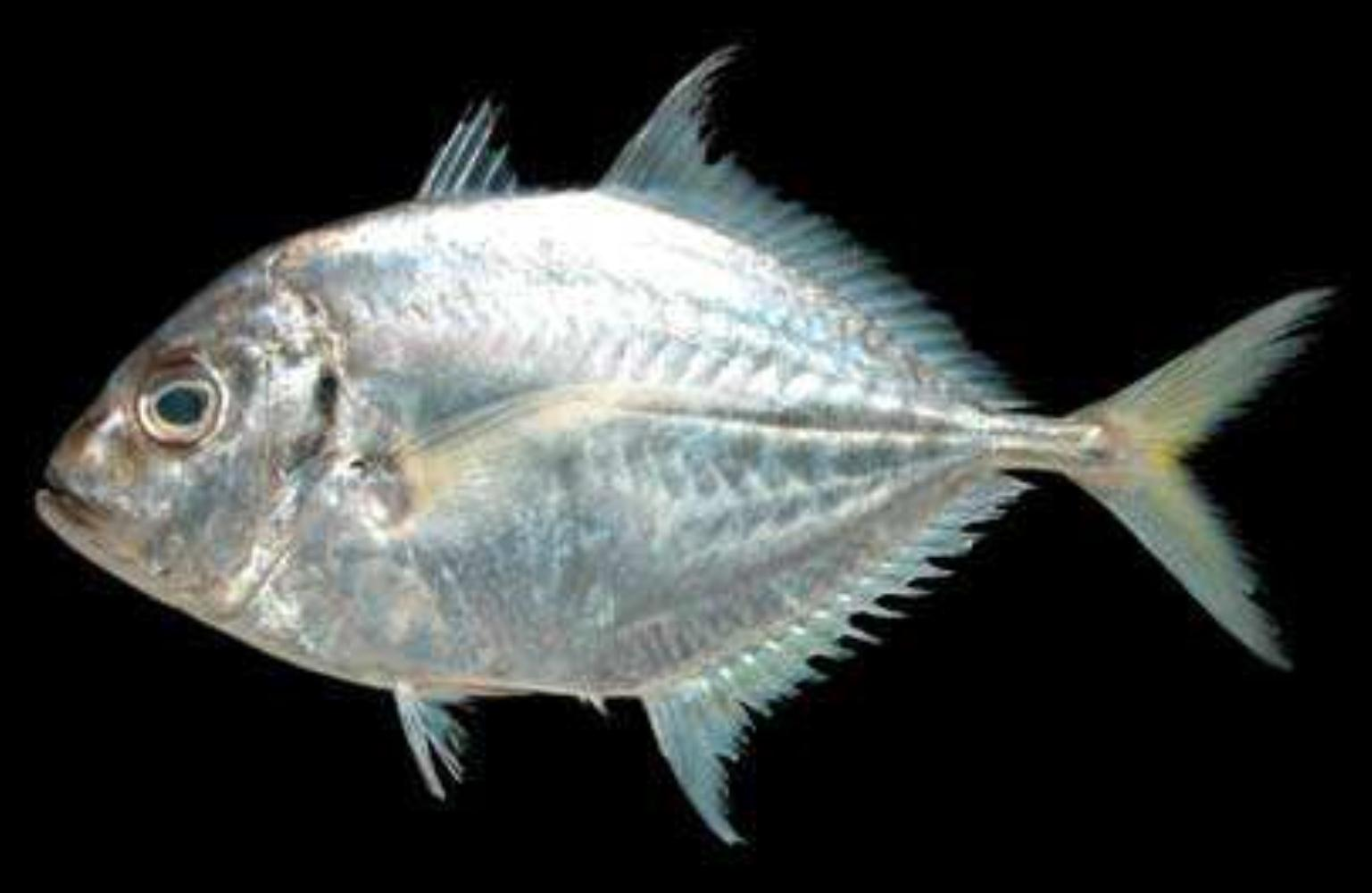 Imposter trevally