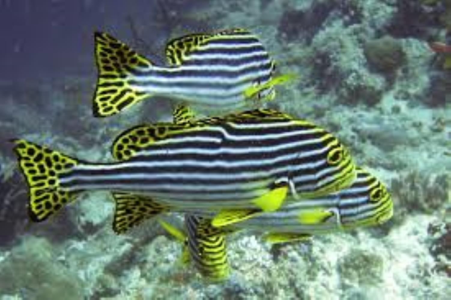 Indian Ocean Oriental Sweetlips