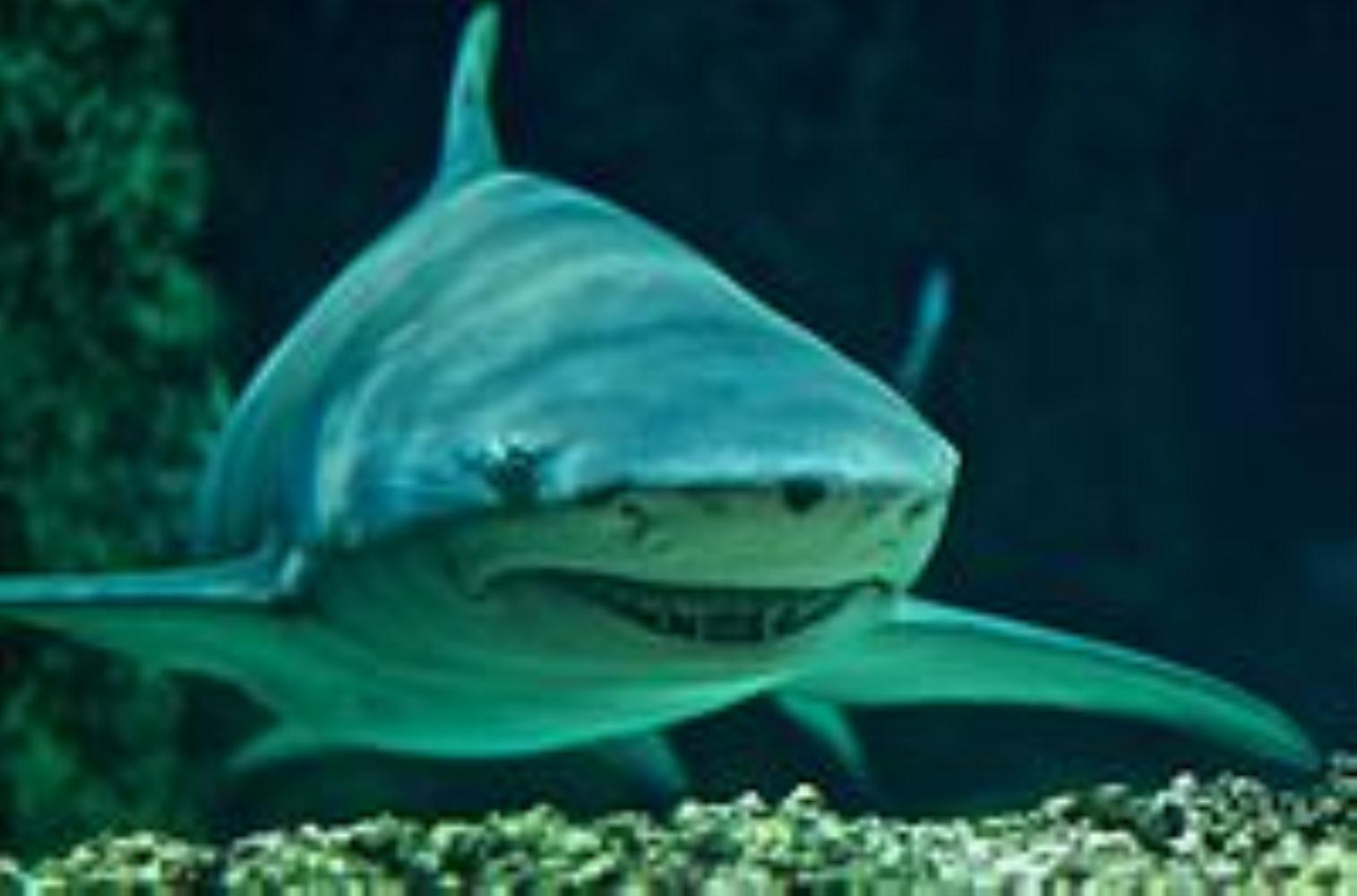 Indo-Pacific Lemon Shark