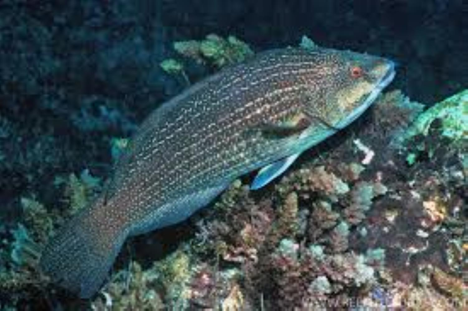 Inscribed Wrasse