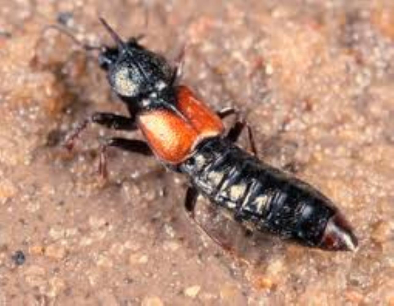 Intertidal Rove Beetle