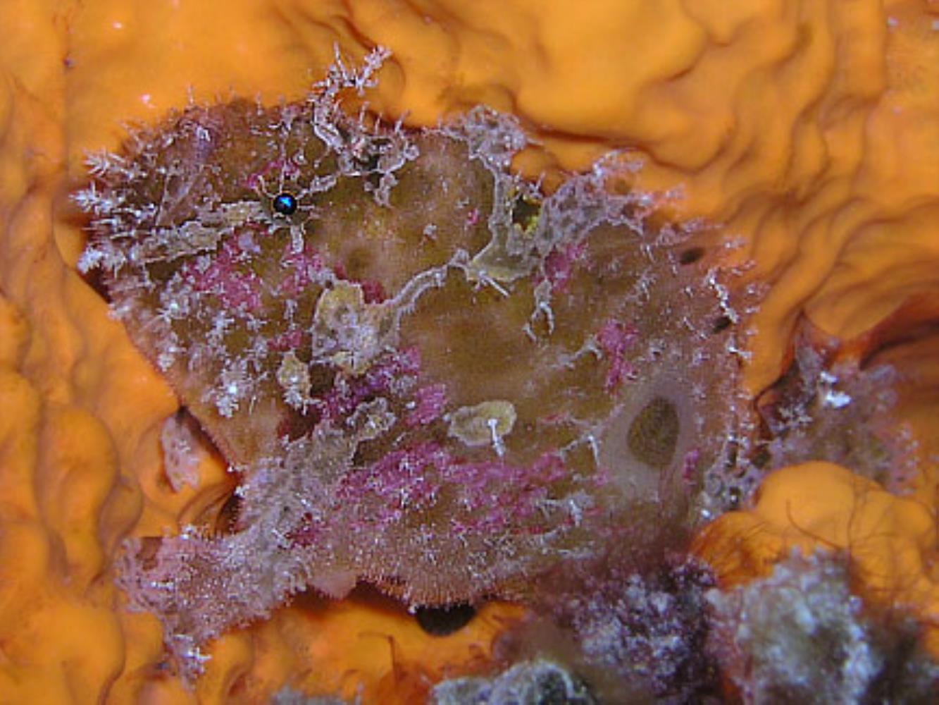 Island Frogfish